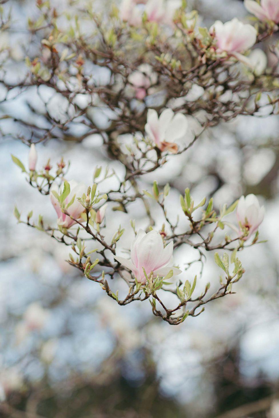Rosenquarz und blühende Magnolienbäume