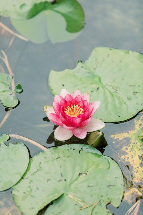Wunderschöne voll erblühte Seerose im See